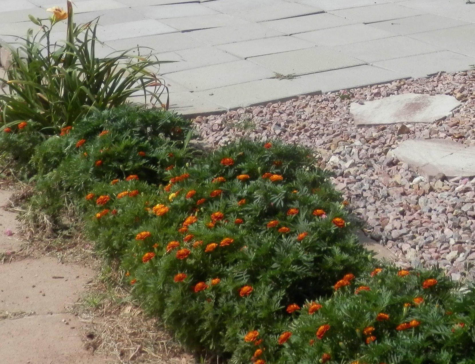 a row of orange marigolds