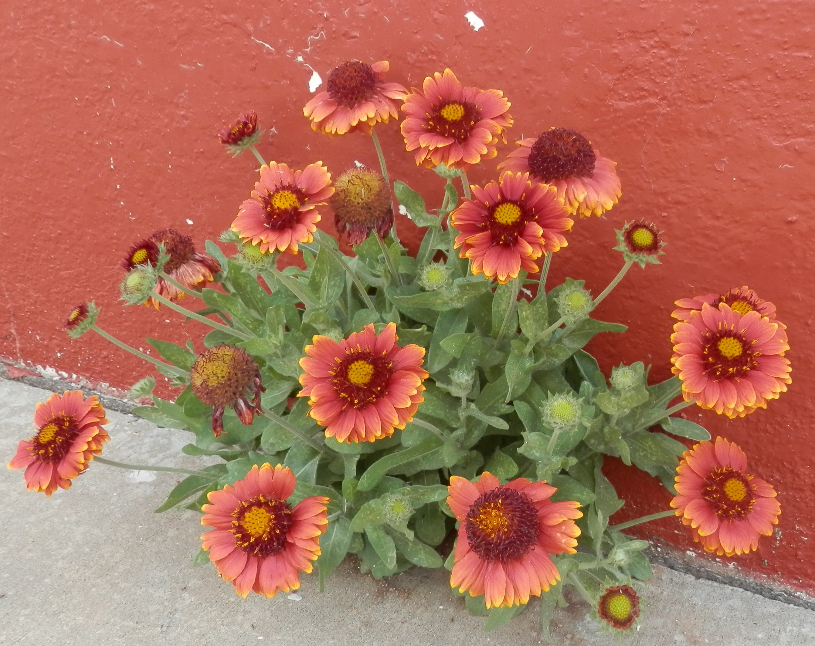 Indian Blanket flower growing beautifully in a crack