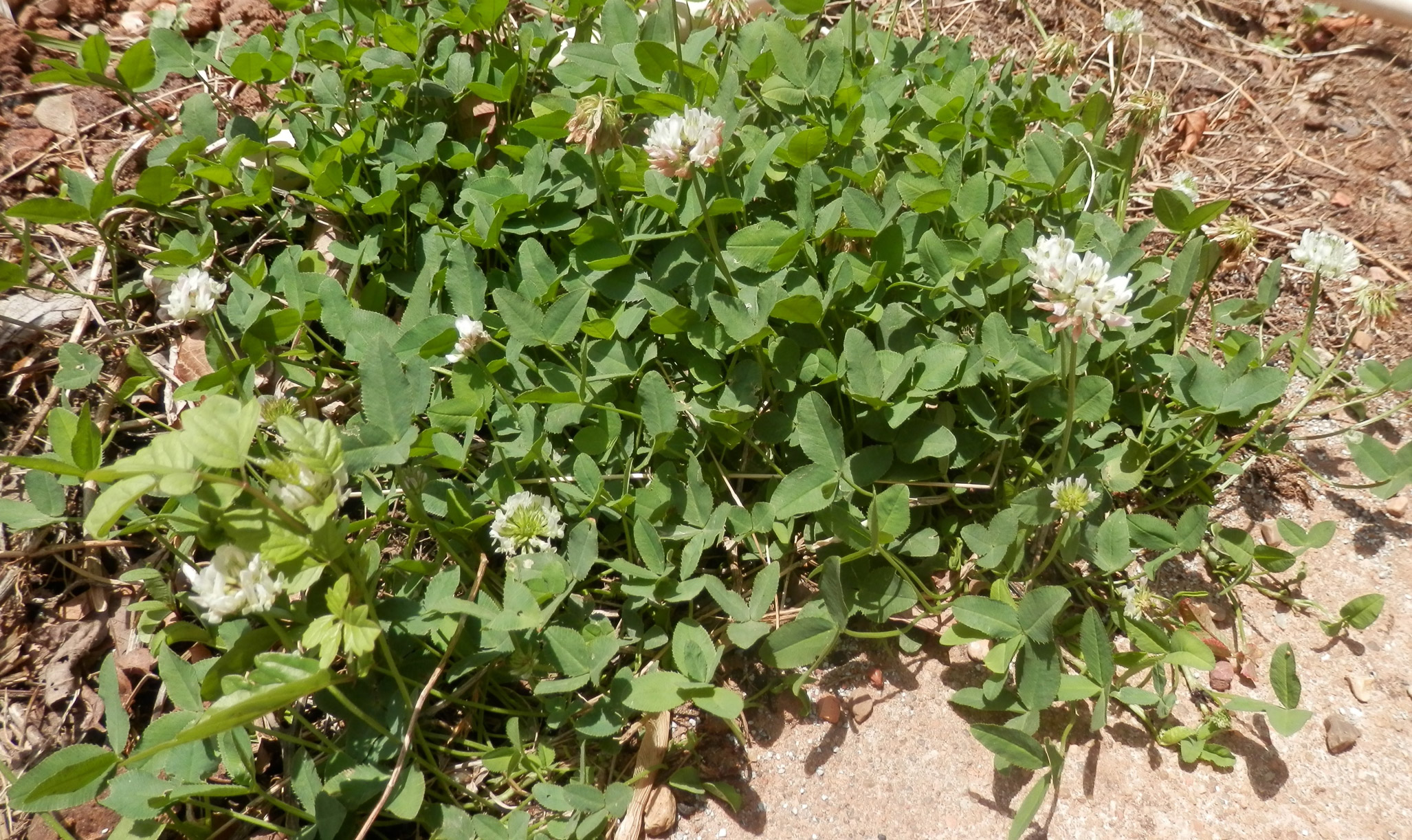 clover growing by the sidewalk