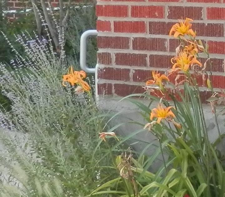 orange daylily and sage