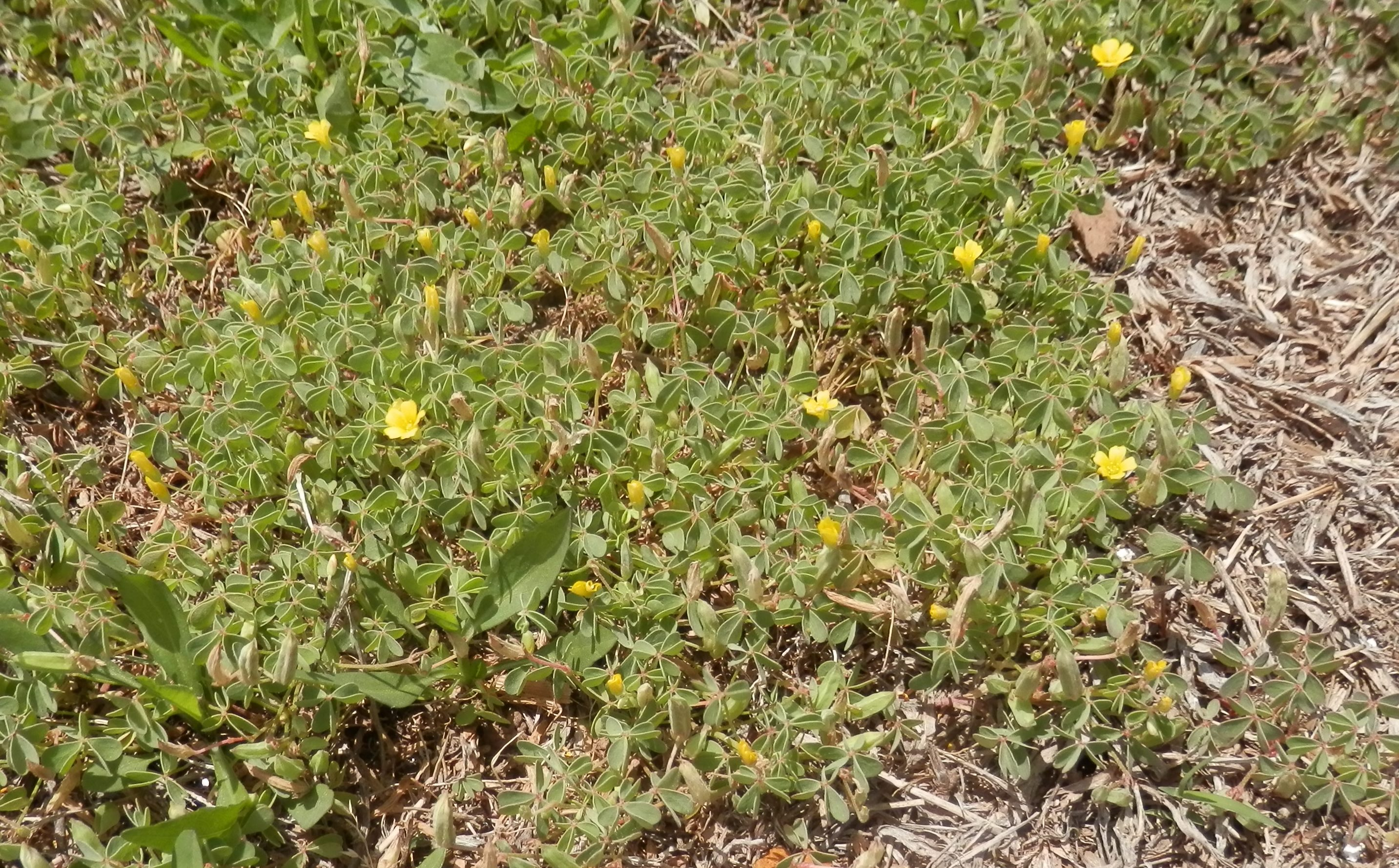 oxalis with little yellow flowers in the flowerbed