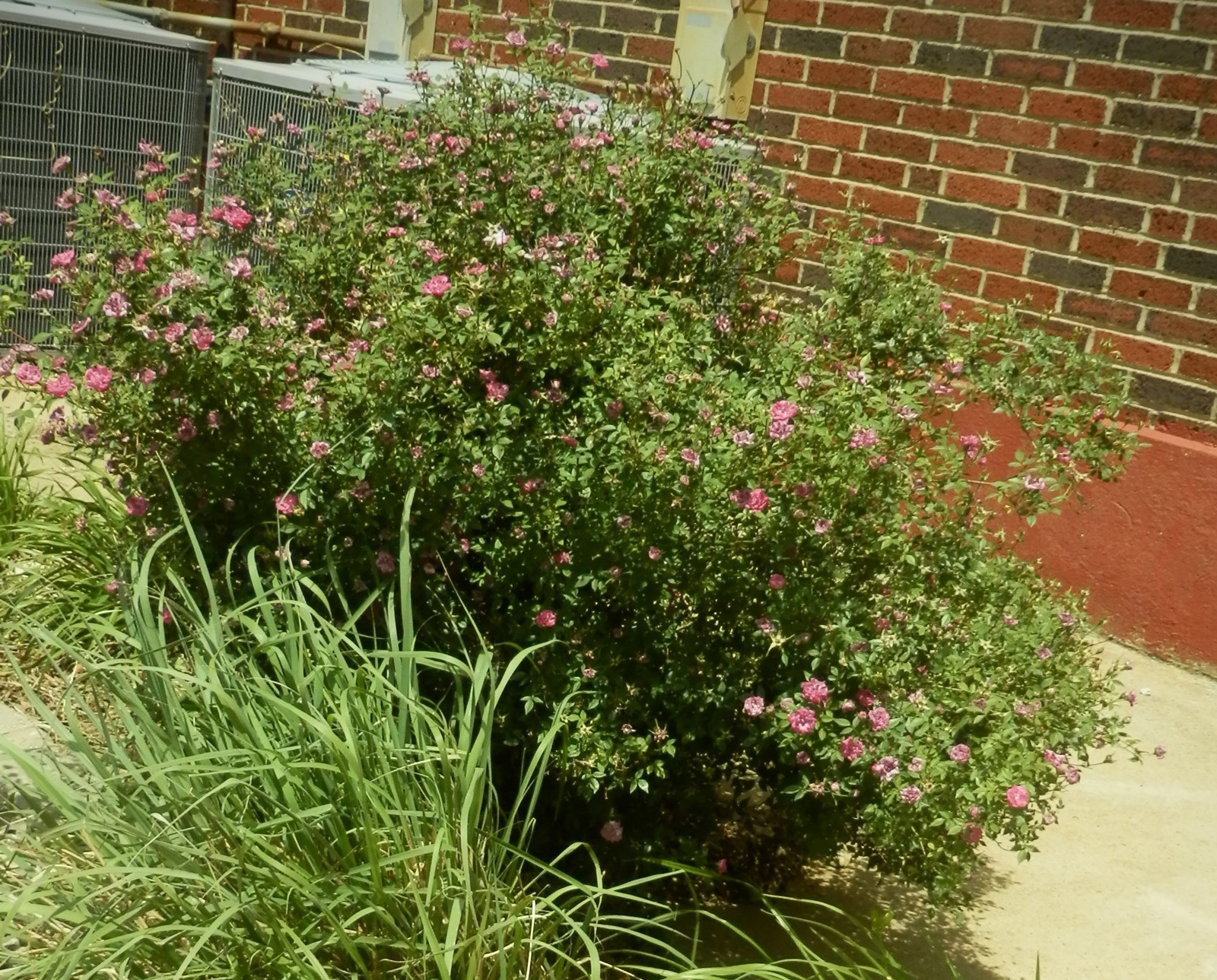 pink shrubby rose