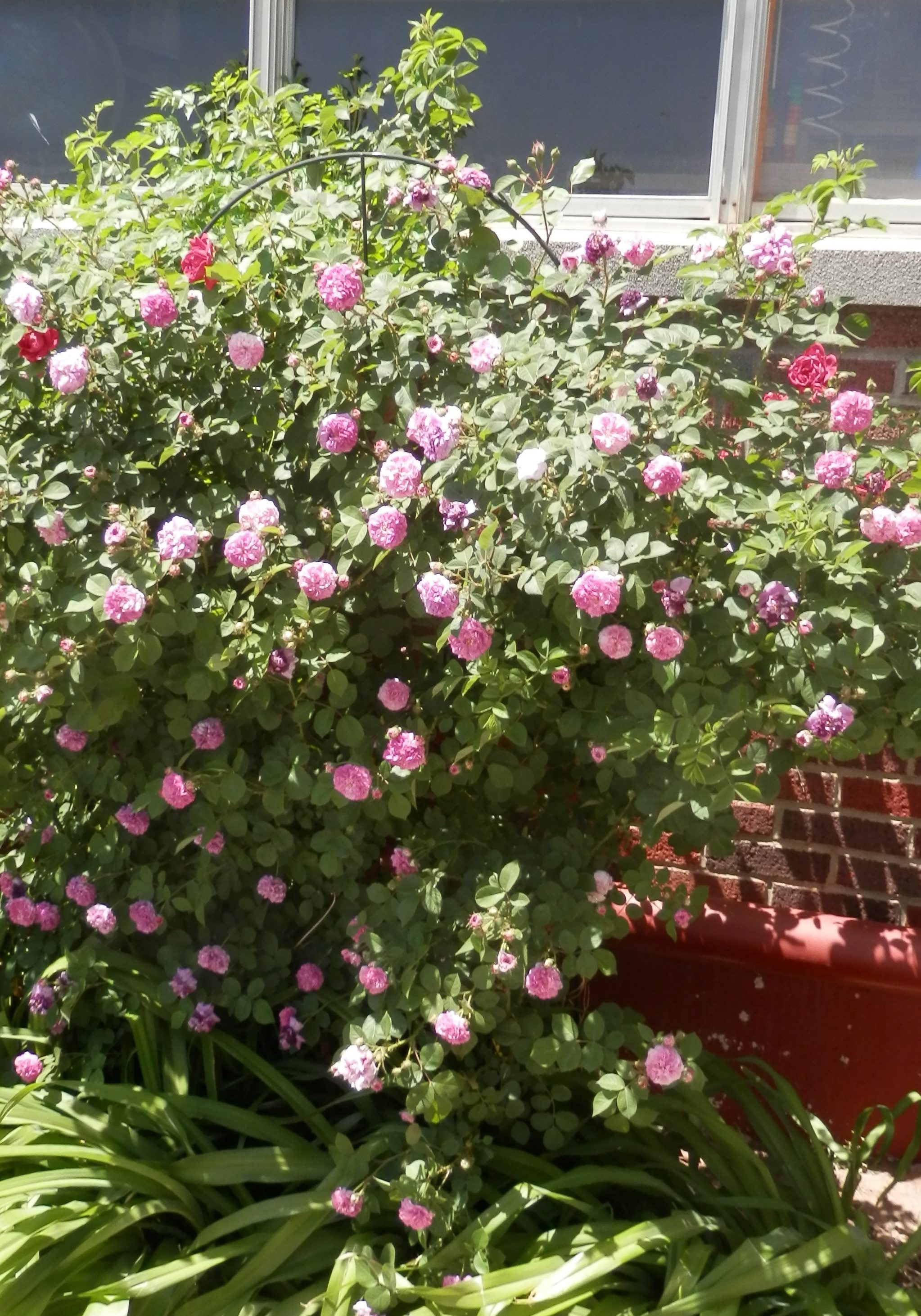 big shrub rose with loads of blooms